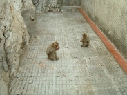 monkey_wallpaper_19