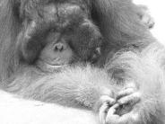 monkey_wallpaper_2