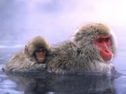 monkey_wallpaper_26