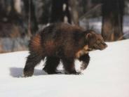 bear_wallpaper_104