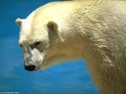 bear_wallpaper_110