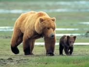 bear_wallpaper_29