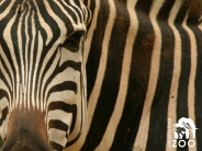 zebra_wallpaper_10