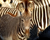zebra_wallpaper_11