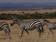 zebra_wallpaper_12