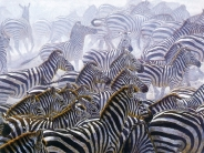 zebra_wallpaper_13