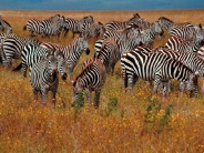 zebra_wallpaper_18
