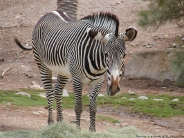 zebra_wallpaper_19
