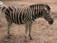 zebra_wallpaper_2