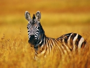zebra_wallpaper_21