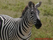 zebra_wallpaper_22