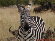 zebra_wallpaper_23