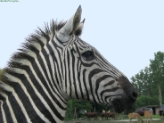 zebra_wallpaper_26