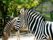 zebra_wallpaper_27