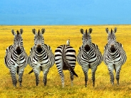zebra_wallpaper_28