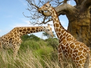 giraffe_wallpaper_1
