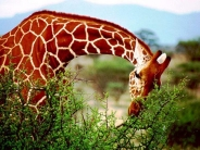 giraffe_wallpaper_11