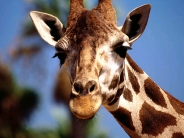 giraffe_wallpaper_13