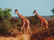giraffe_wallpaper_14