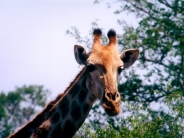 giraffe_wallpaper_16