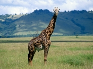 giraffe_wallpaper_18