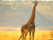 giraffe_wallpaper_20