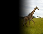 giraffe_wallpaper_21