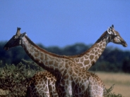 giraffe_wallpaper_22