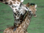 giraffe_wallpaper_23