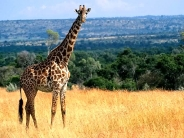 giraffe_wallpaper_25